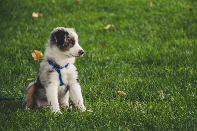 The Ultimate Guide To Leash Training A Puppy in 5 Simple Steps in 2020