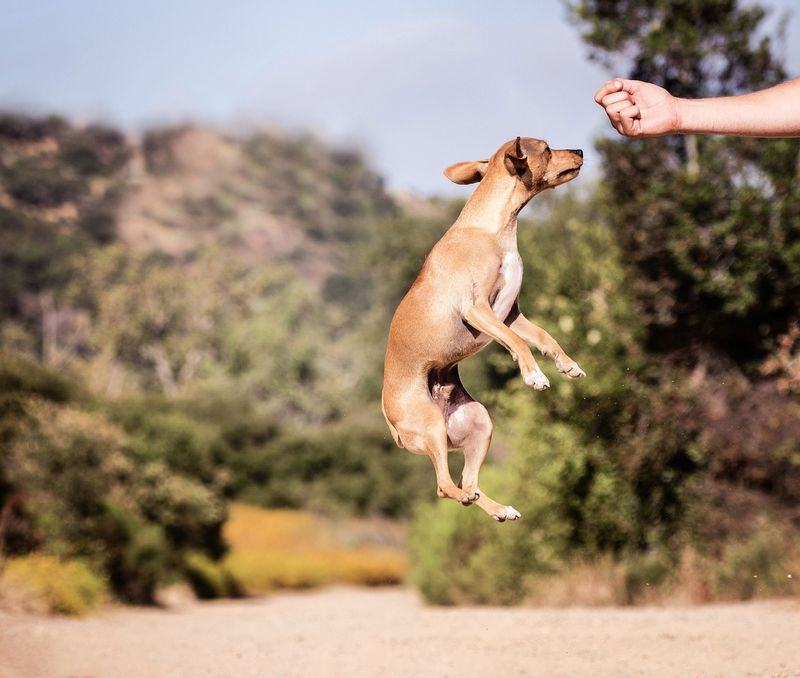 puppy luring jumping