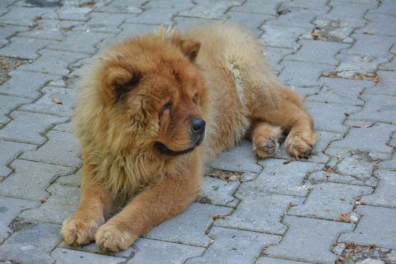 Chow Chow shaking puppy syndrome