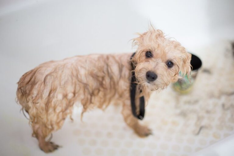 Dog Shivering After Bath: Common Reasons and Easy  3 Step Solution