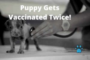 Puppy Gets Vaccinated Twice