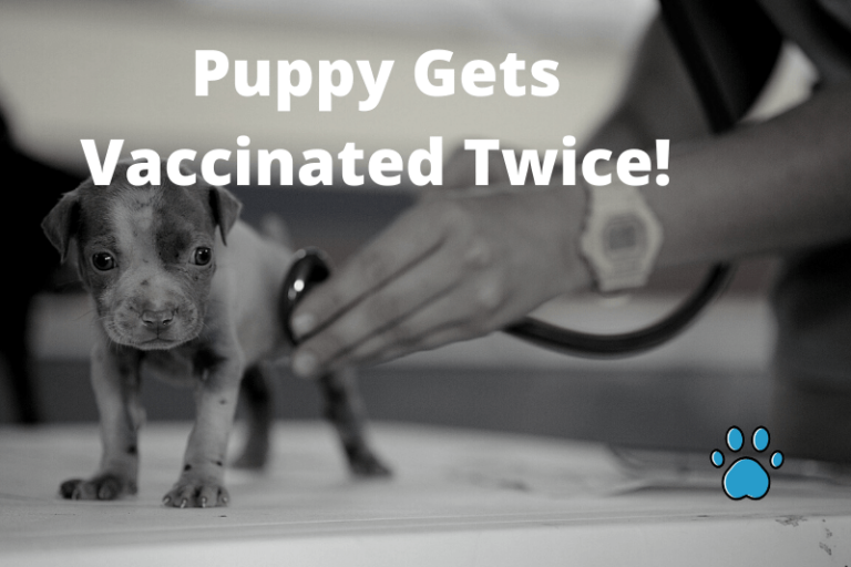 Puppy Gets Vaccinated Twice! Here's What You Need To Do