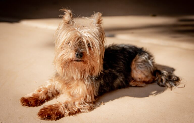 Are Yorkies easy to train? Everything you need to know!