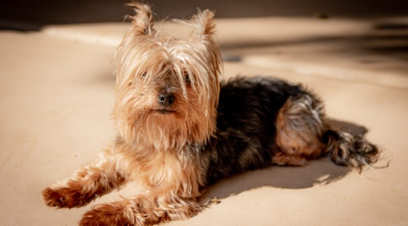are-yorkies-easy-to-train