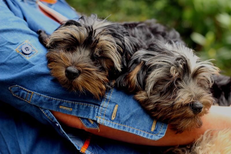 are-yorkies-good-with-other-dogs